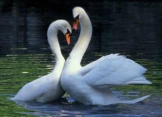 танец белых лебедей