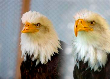 Beauty the Bald eagle with its 3D printed prosthetics - Glen Hush / USFWS National Digital Library.