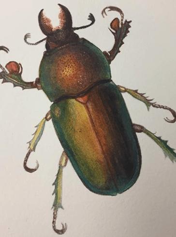 Illustration of a Lamprima sp. by Julia Landford.