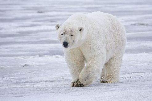 Climate change impacts polar bears as sea ice continues to shrink