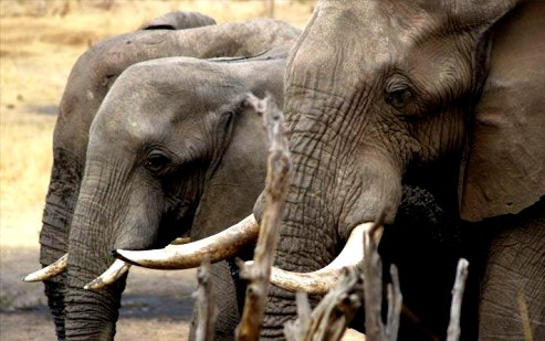 Organized crime kills elephants under increased ivory poaching says UN