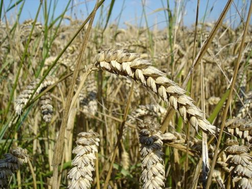 U.S. GMO wheat production creates global sanctions