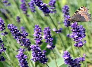 Lavender Oil- 15 Beauty Tips