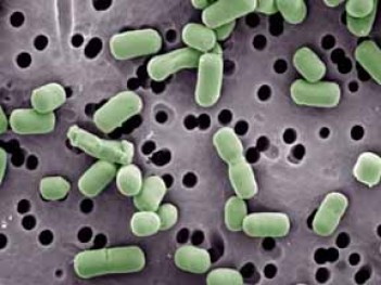 lactobacillus-brevi