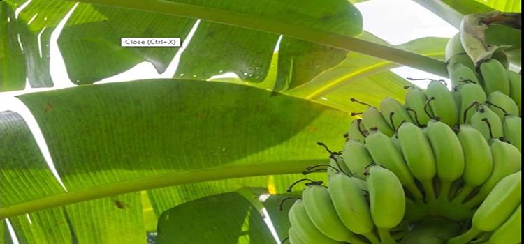 banana new