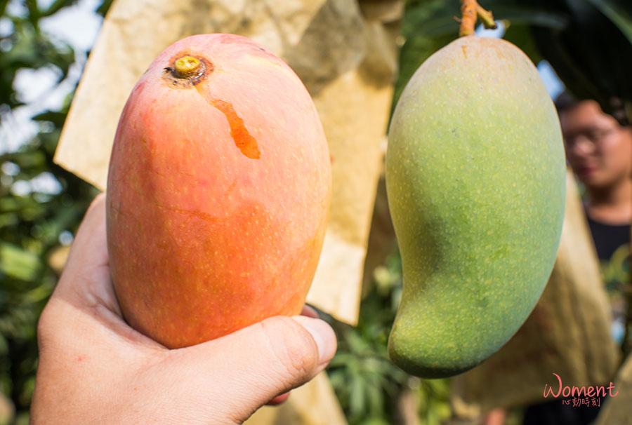 孫家水蜜桃芒果-成熟狀態
