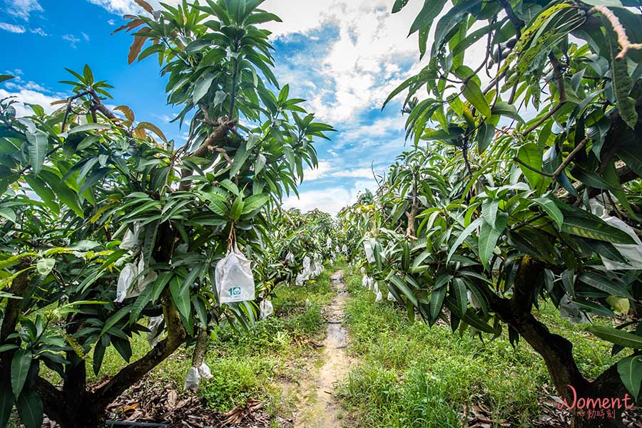 水蜜桃芒果-果樹