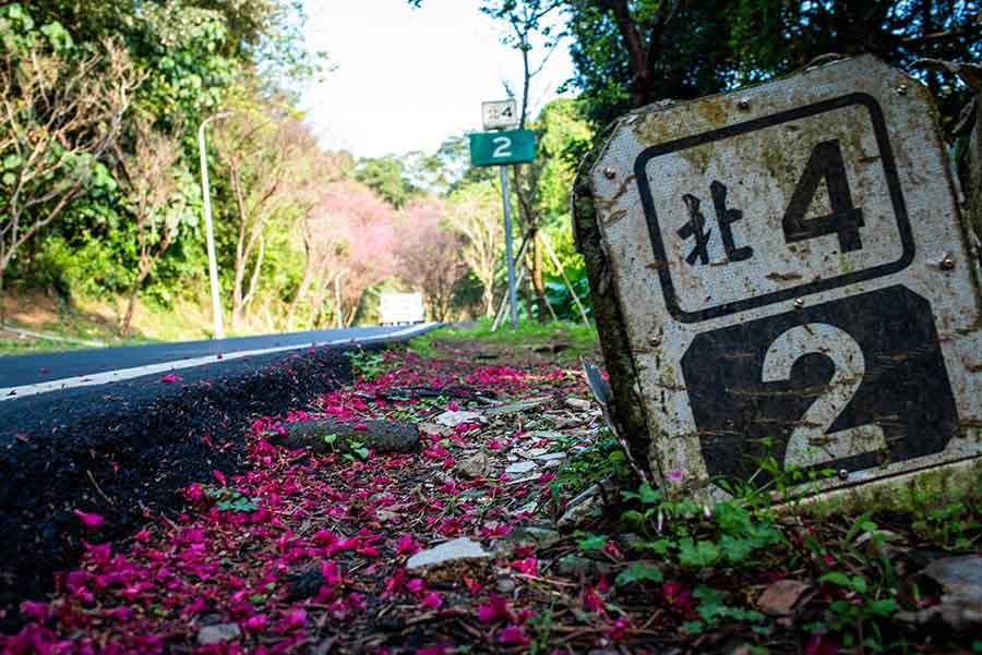 【淡水輕軌】最浪漫的景點- 滬尾櫻花大道,淡金鄧公站旁,綿延4公里的粉色夢幻隧道,現正盛開中