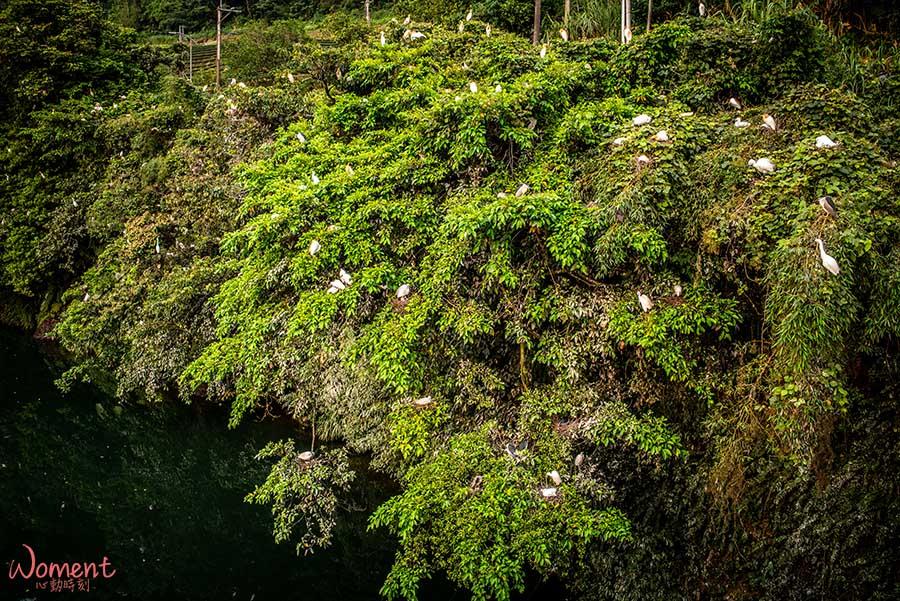 坪林親水公園-白鷺鷥