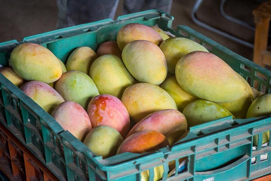 水蜜桃芒果(紅龍芒果),孫家燕巢果農用心多年栽種終於優化出這款品種分支,藏在細節裡的品質值得一嚐