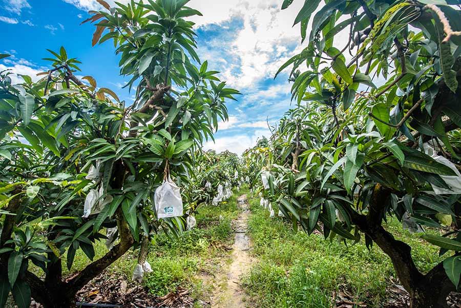水蜜桃芒果(紅龍芒果分支),孫家獨有品種 ,多汁無纖維,為了品嚐產地現採的水蜜桃芒果,我們走進果園