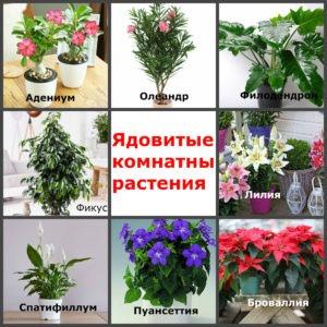 ядовитые комнатные растения: названия и фото