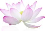 lotus300
