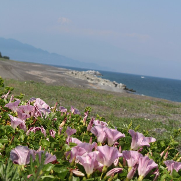 Mt. Fuji with pink shore bindweed.
