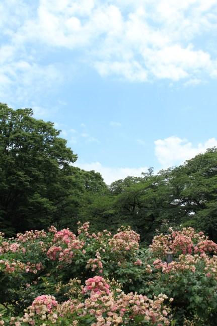 Yoyogi Park's roses