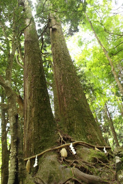 Aioi-sugi, Twins Japanese Cedar
