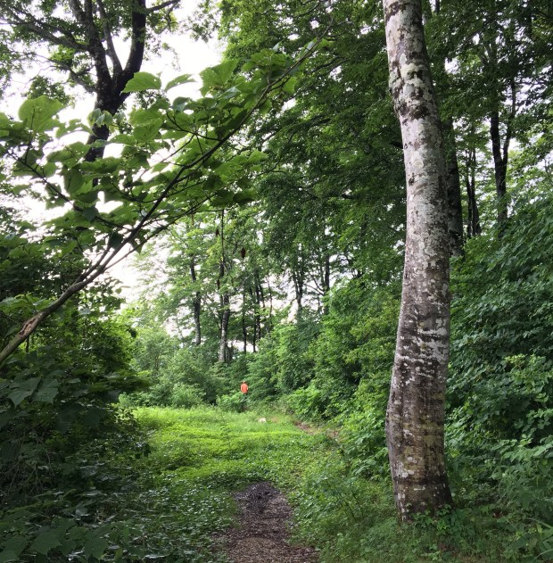 Path with Beech trees