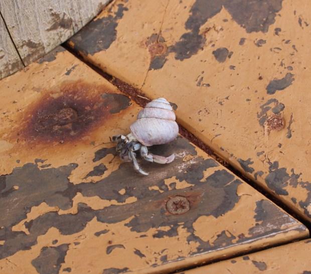 Terrestrial Hermit Crab