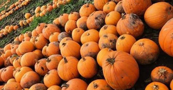 Red house farm pumpkin picking