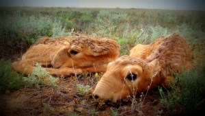 1-Saiga_antelope_deaths