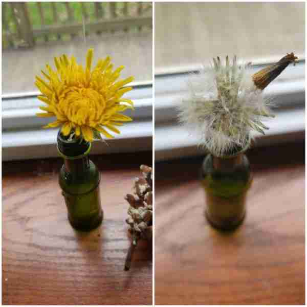 Watching a Dandelion Transformation Indoors