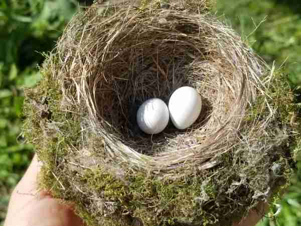 moss covered nest with two small white eggs eastern phoebe