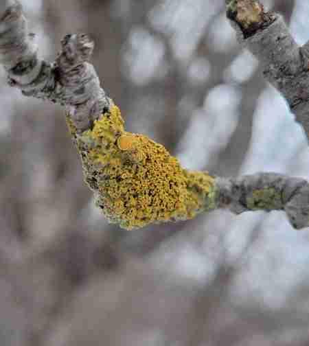 Lichen on Tree Branch Winter