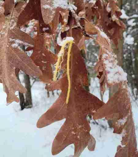Marscent leaves on oak in winter
