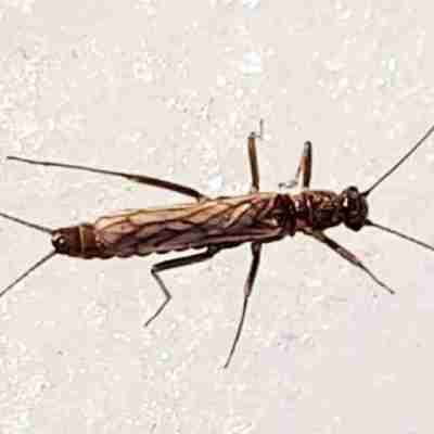 Small Winter Stoneflies: Insect Life in Winter