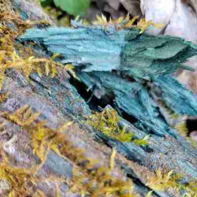 Blue-green stained log