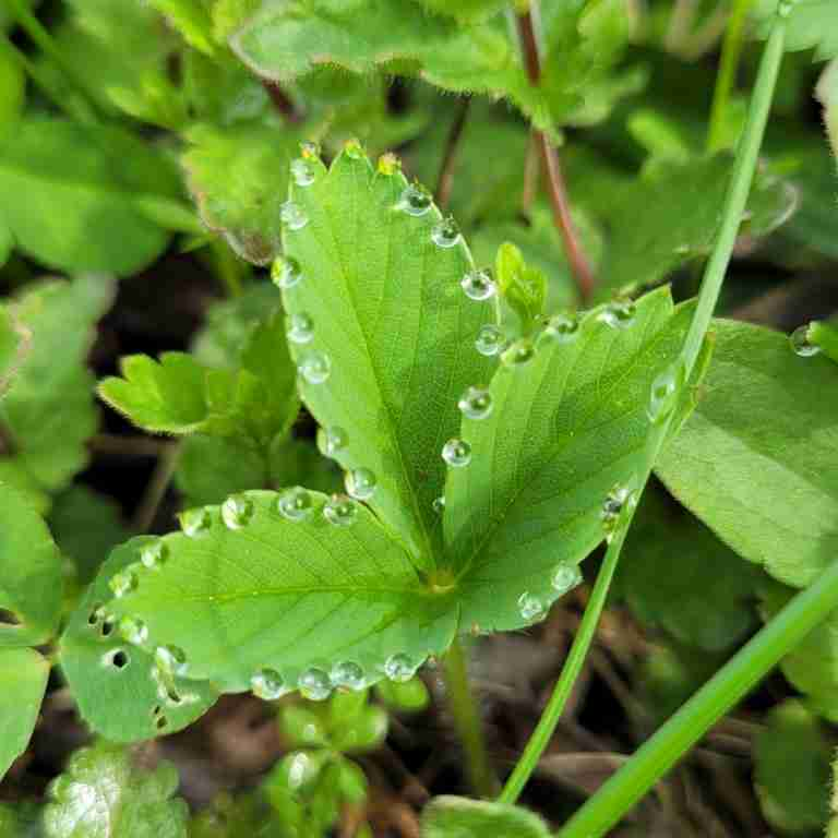 Dew-Drops-on-Strawberry-Leaves