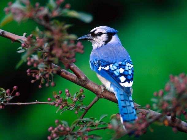 BEAUTIFUL-GREEN-NATURE-WITH-BIRDS-BUE-JAY-BIRD