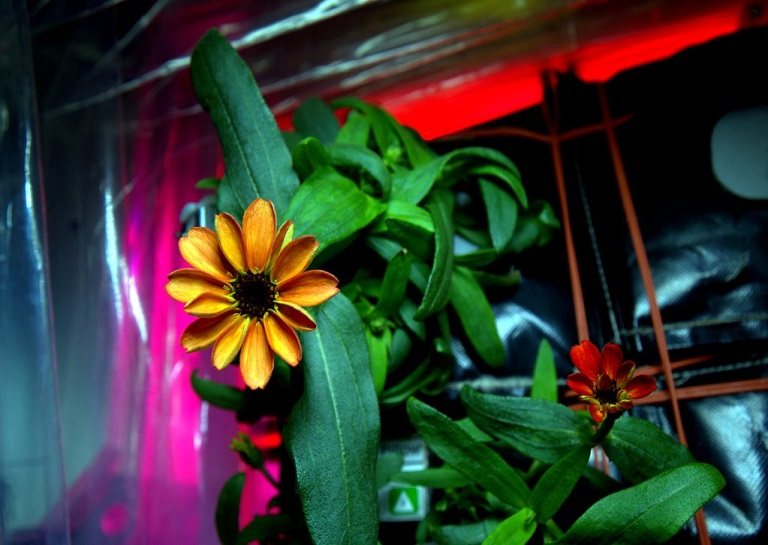 First Flower Grown On International Space Station