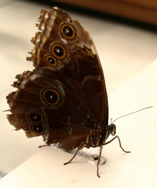 brown-butterfly-2-5001