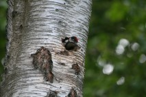 """Great Spotted Woodpecker chick """"mum, mum where are you I'm hungry , mmuumm !!"""