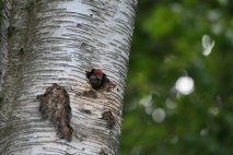 Great Spotted Woodpecker chick
