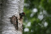 Woodpecker chick poking its head out of the nest hole.