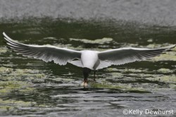 Black headed Gull in flight showing of his beautiful wings