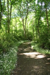 Woodland path, Townley woods, Burnley. Wild garlic growing along the pathways.