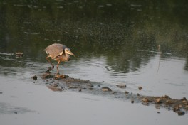 heron chick trying to fish