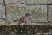 small kestrel chick looking a little confused and lost