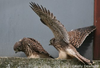 Kestrel chicks working out there hierarchy.