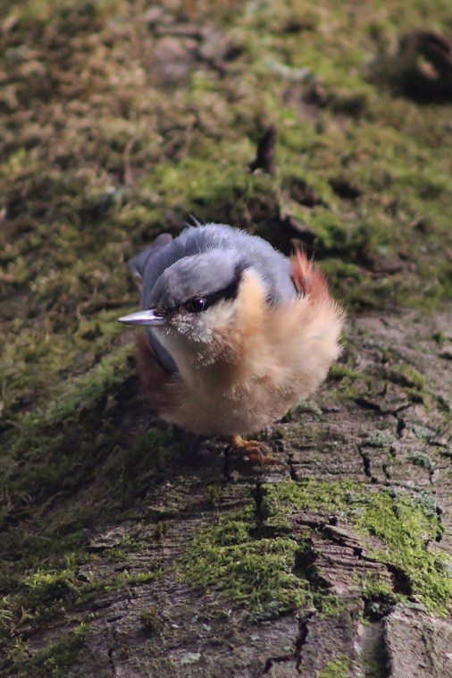 Nuthatch coming down the tree, Feather fluffed.