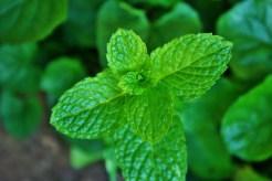 Tori's Peppermint Tea from Divergent