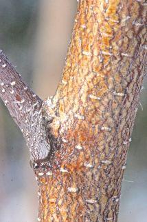 w-gray birch bark yelloworange