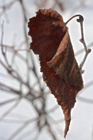 w-gray leaf 2