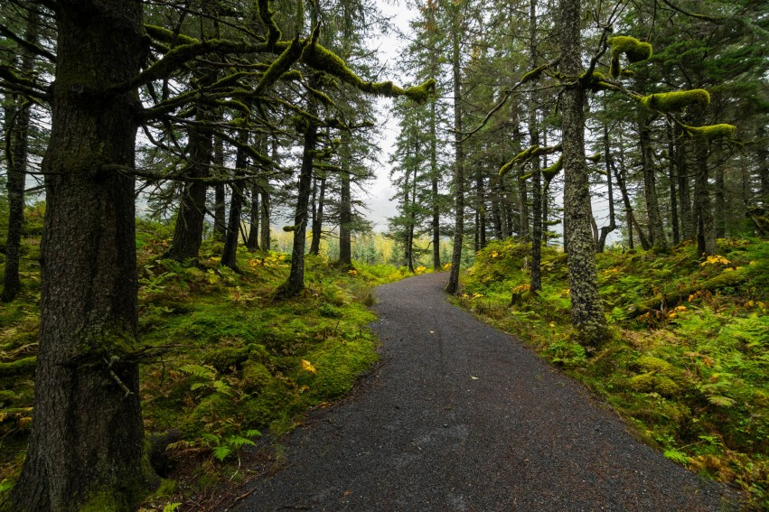 The portage valley trail makes its way through a mossy rainforest near Whittier Alaska. The Trail is made of compacted gravel and winds through the pine forest.