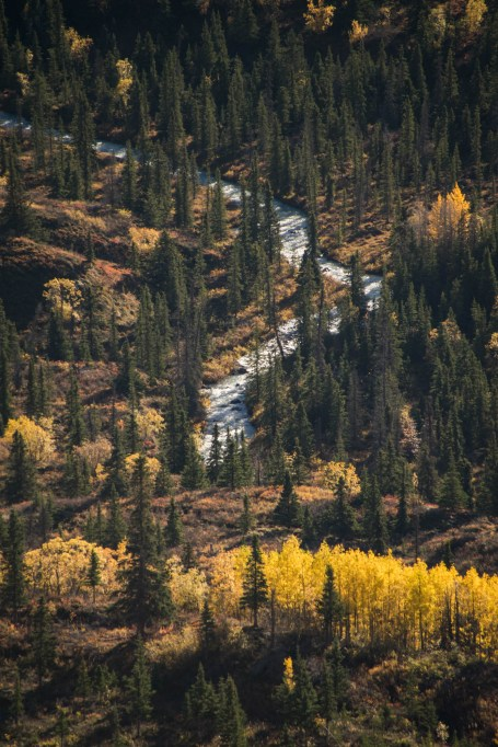 A winding river makes its way down a wild alaskan landscape during fall. The forest bushes and tree leaves are changing colors. The scene is seen from above.