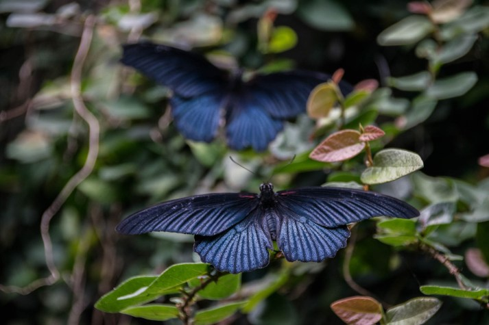 Two great mormon blue butterflies are seen among the plants and vines of Thailand's rainforest. The first butterfly is in focus and the second butterfly in the background is softly blurred due the the depth of field effect.