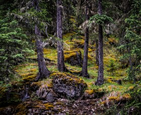 Four Trees at Miette Hotsprings